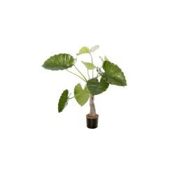 Alocasia calidora H 80 cm