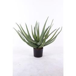 Aloe 70 cm