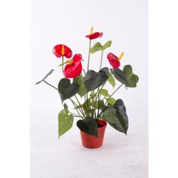 Anthurium rouge 50 cm