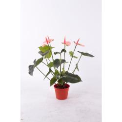 Anthurium saumon 50 cm