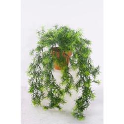 Asparagus dans un pot d'argile 50 cm