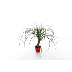 Beaucarnea 55 cm