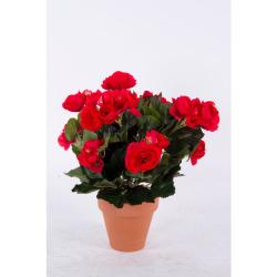 Begonia Elatior rouge dans un pot d'ar 30 cm