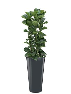 Ficus lyrata bambino<br />Diam. : 37<br />Haut. : 165