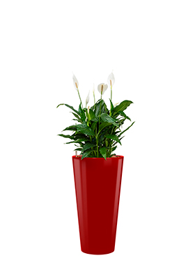 Spathiphyllum mont blanc<br />Diam. : 37<br />Haut. : 105
