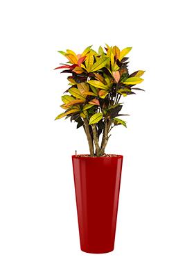 Croton (codiaeum) iceton<br />Diam. : 37<br />Haut. : 145
