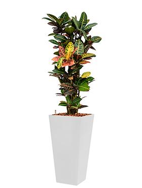 Croton (codiaeum) petra<br />Long. : 35<br />Larg. : 35<br />Haut. : 165