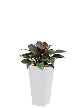 Philodendron imperial red<br />Long. : 35<br />Larg. : 35<br />Haut. : 95