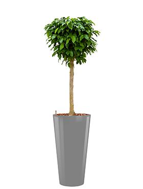 Ficus benjamina columnar<br />Diam. : 37<br />Haut. : 165