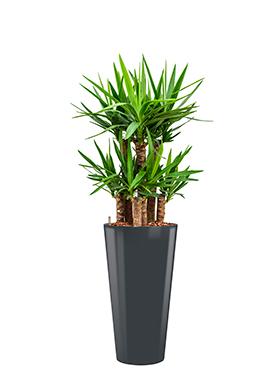 Yucca elephantipes<br />Diam. : 37<br />Haut. : 140