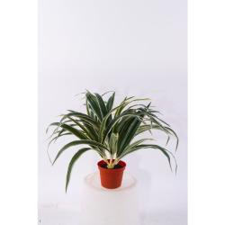 Chlorophytum dans le pot 30 cm