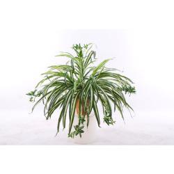 Chlorophytum dans un pot d'argile 30 cm