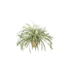 Chlorophytum dans un pot d'argile 64 cm