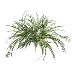 Chlorophytum sans pot 64 cm
