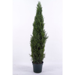 Cupressus colonne H 120 cm