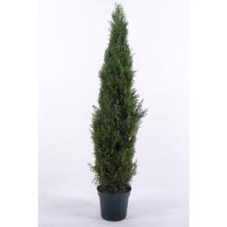 Cupressus colonne H 90 cm
