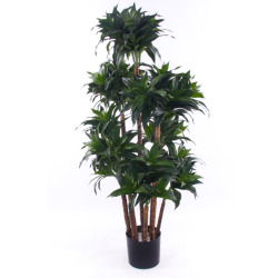Dracaena fragrans H 90 cm