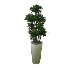 Dracaena fragrans dans un pot blanc 80 x 80 x 150 cm