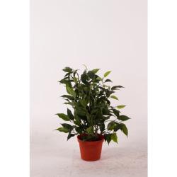 Ficus Natascha vert 30 cm