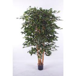 Ficus benjamina Top H 210 cm