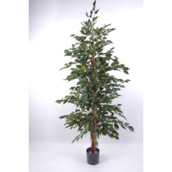 Ficus benjamina vert H 150 cm
