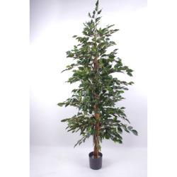 Ficus benjamina vert H 180 cm