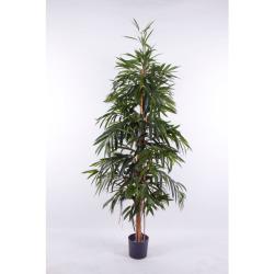 Ficus longifolia H 180 cm