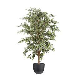 Ficus panaché dans un pot noir 100x100x150cm