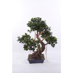 Ficus panda Bonsai 90 cm