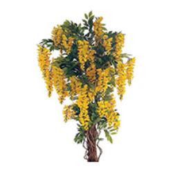 Glycines jaune H 180 cm