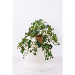 Hedera panaché dans un pot d'argile 25 cm