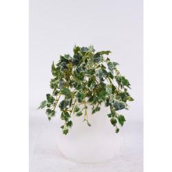 Hedera panaché sans pot 25 cm