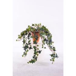 Hedera vert dans le pot d'argile 50 cm