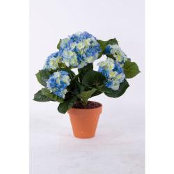 Hydrangea bleu dans un pot d'argile 40 cm