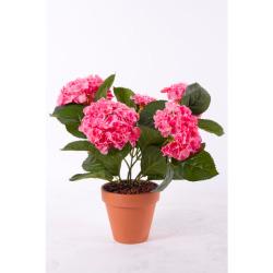 Hydrangea rose dans un pot d'argile 40 cm