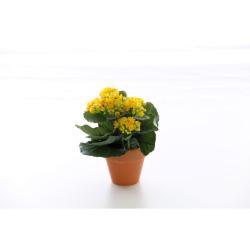 Kalanchoe jaune en pot terre cuite 20 cm