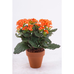 Kalanchoe orange dans un pot d'argile 25 cm