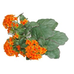 Kalanchoe orange sans pot 25 cm