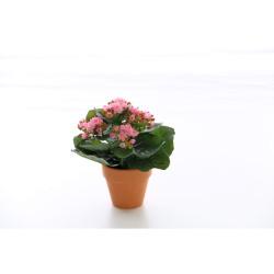 Kalanchoe rose en pot terre cuite 20 cm