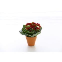 Kalanchoe rouge en pot terre cuite 20 cm