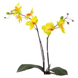 Orchidée jaune 55 cm
