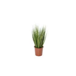 Pennisetum 36 cm