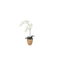 Phalaenopsis blanc dans le pot d'argil 70 cm