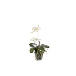 Phalaenopsis blanc en verre H 56 cm