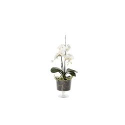 Phalaenopsis blanc en verre H 75 cm