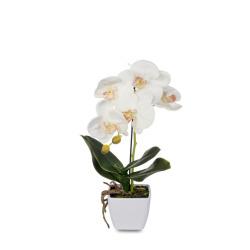 Phalaenopsis crème dans le pot 30 cm