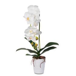 Phalaenopsis crème dans le pot 60 cm