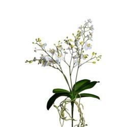 Phalaenopsis weiss L 58 cm