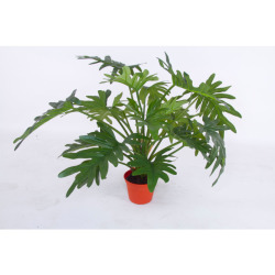 Philodendron H 50 cm
