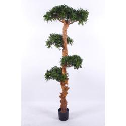 Podocarpus H 180 cm